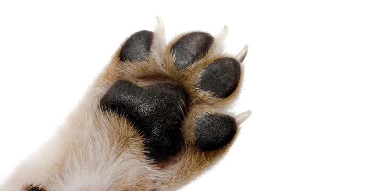 https://hundehelse.no/wp-content/uploads/2020/10/Dog-paw-with-black-pads-on-white-background-000010531640_Large-1280x640.jpg