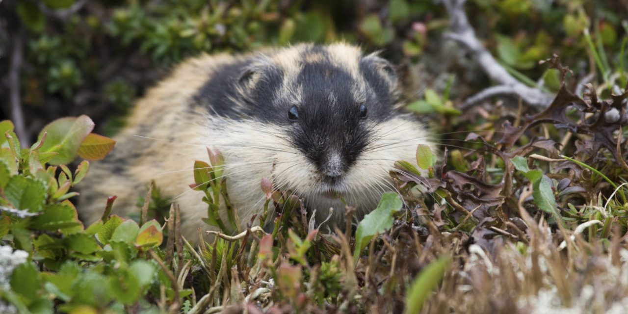 https://hundehelse.no/wp-content/uploads/2020/10/Norway-lemming-lemmus-lemmus-Berglemming-000032563740_Large-1280x640.jpg