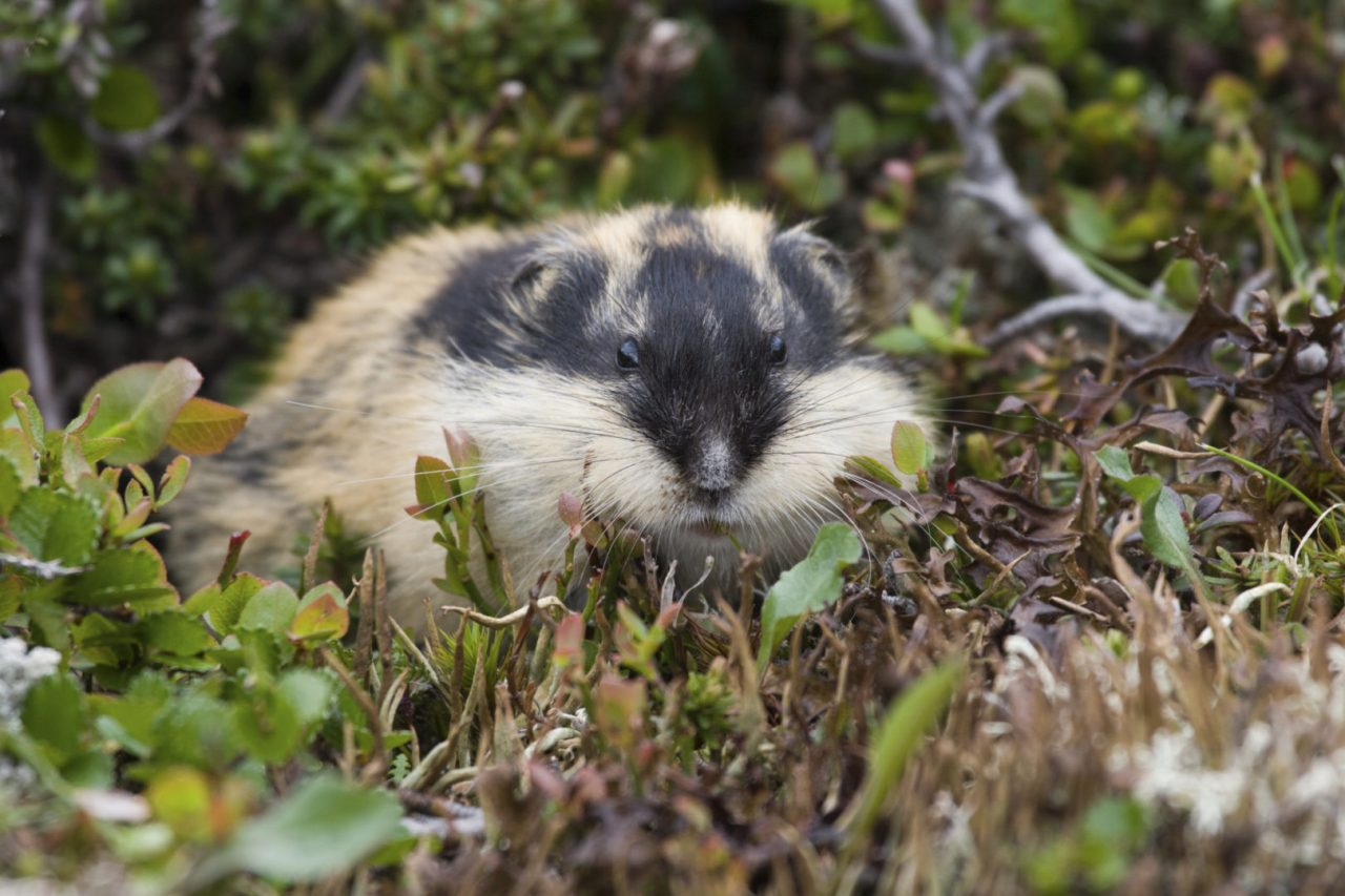 https://hundehelse.no/wp-content/uploads/2020/10/Norway-lemming-lemmus-lemmus-Berglemming-000032563740_Large-1280x853.jpg