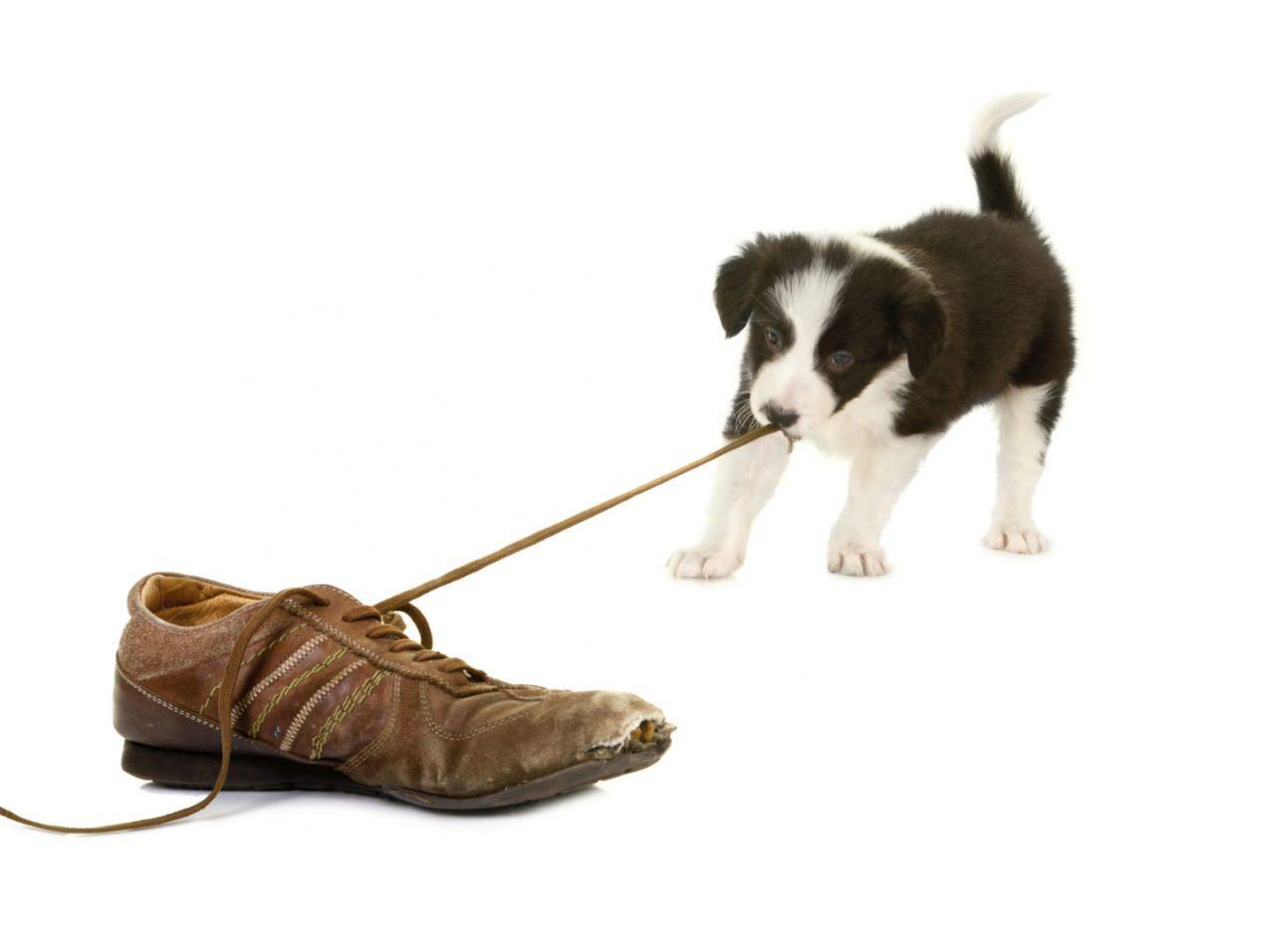 https://hundehelse.no/wp-content/uploads/2020/10/Puppy-pulling-shoe-lace-000019978964_Large-1280x956.jpg