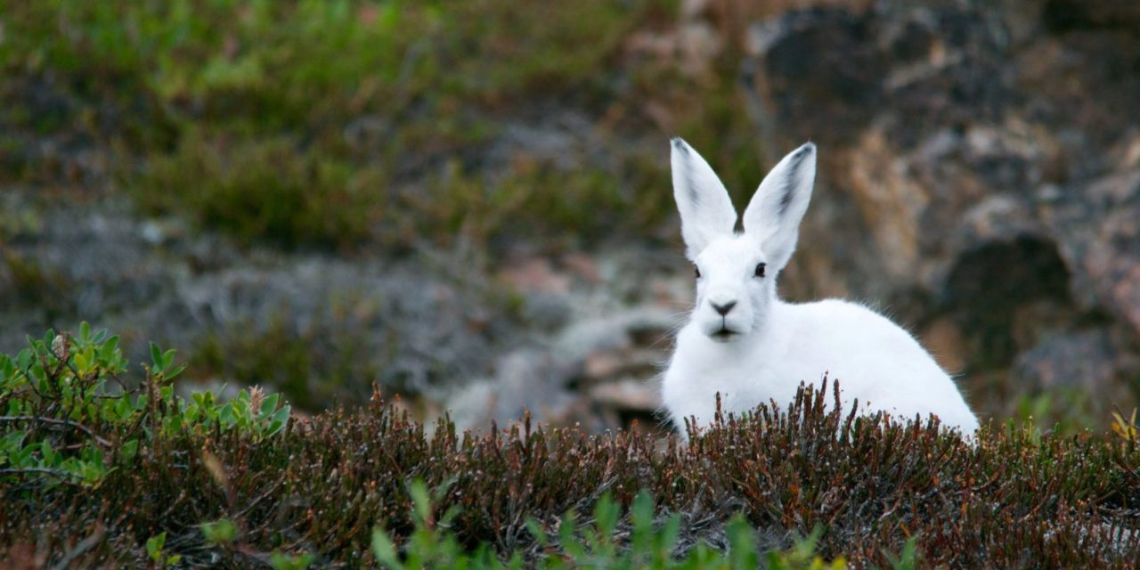 https://hundehelse.no/wp-content/uploads/2020/10/arctic-hare-828994-1280x640.jpg
