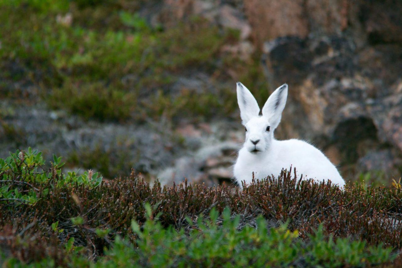 https://hundehelse.no/wp-content/uploads/2020/10/arctic-hare-828994-1280x853.jpg
